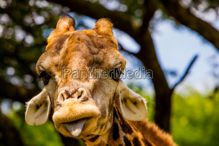 giraffe making a funny face kruger