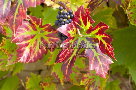 ripe grapes on a grapevine on