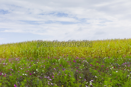 wildflower border by maize crop in