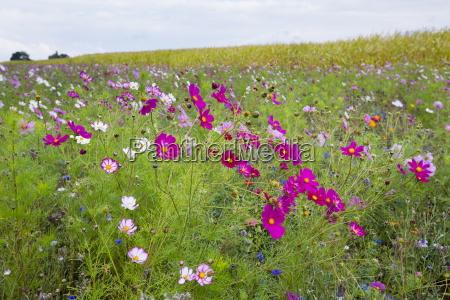 wildflower border by maize crop in