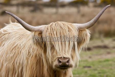blonde shaggy coated highland cow with