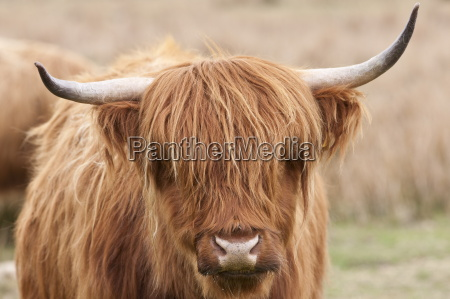 brown shaggy coated highland cow with