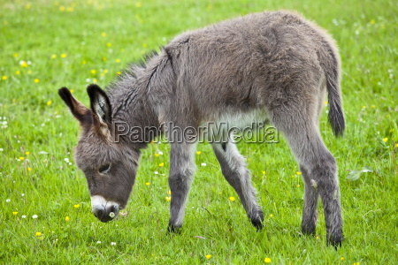 donkey foal in connemara county galway