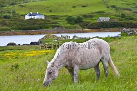connemara pony grazing near cleggan connemara