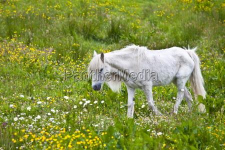 malnourished thin and boney connemara pony