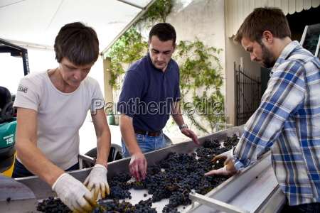olivier berrouet oenologist helps sort grapes
