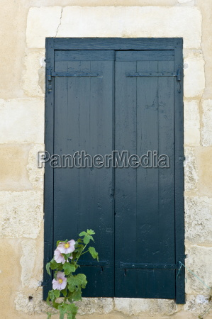 traditional french shutters and lavatera flowering