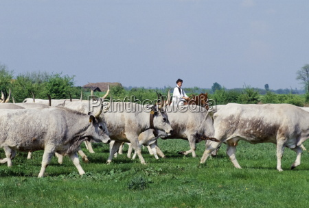 hungarian csikos cowboy rounding up cattle