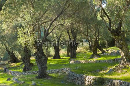 sunlight through old olives trees olea