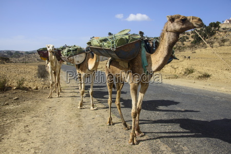 camel caravan along the road from