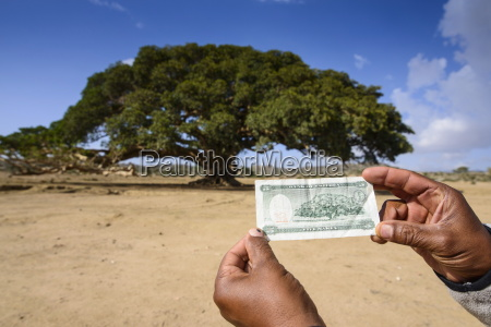 the giant sycamore tree featured on