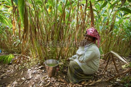 collecting cardamom munnar kerala india asia