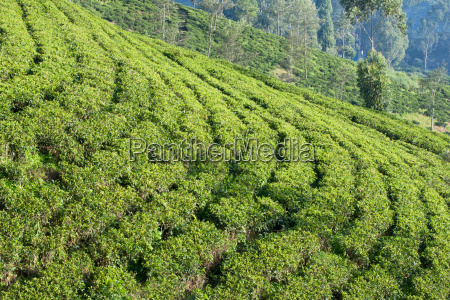 terraced fields on a ceylon tea
