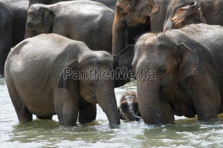 asian elephants bathing in the river