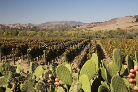 vineyard santa ynez santa ynez valley