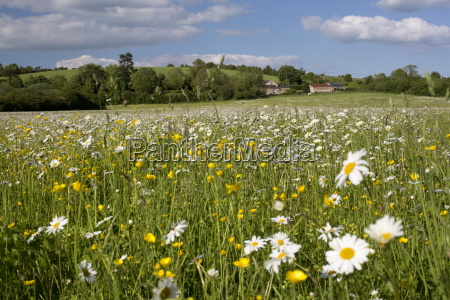 summer meadow with daisies and buttercups
