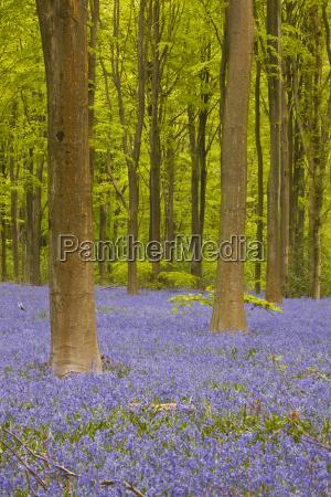 bluebells beneath trees west woods wiltshire