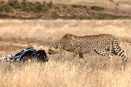 curious cheetah sniffing at nature lovers