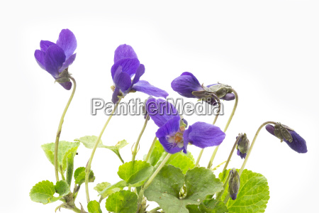 scent violet on light background