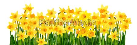 yellow daffodils on white background symbol