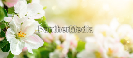 apple blossoms in dreamy sunlight panoramic