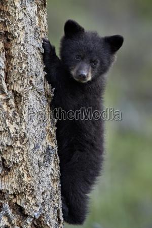black bear ursus americanus cub of