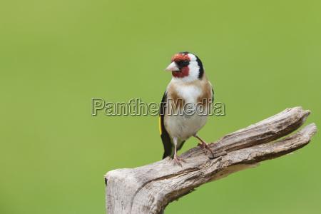 goldfinch carduelis carduelis garden bird perched