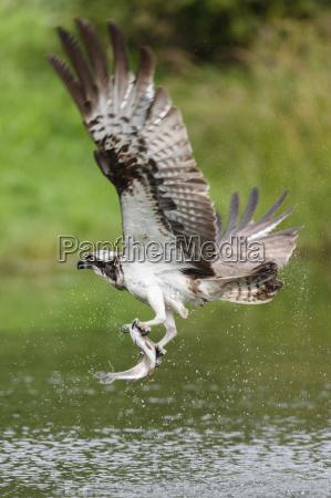 osprey pandion haliaetus flying above a