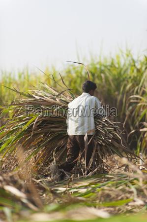 a man harvests sugarcane in uttarakhand