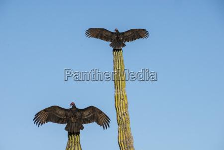 turkey vultures on cardon cacti morning