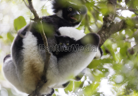howling indri lemur indri indri analamazaotra