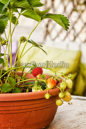 strawberry plants in flowerpot with unripe