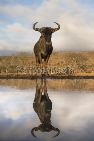 common blue wildebeest gnu connochaetes taurinus