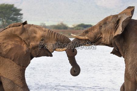 african elephants loxodonta africana wrestling zimanga