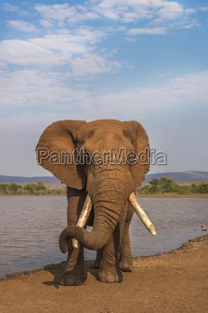 elephant loxodonta africana resting trunk on