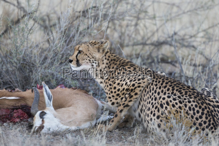 cheetah acinonyx jubatus on springbok kill