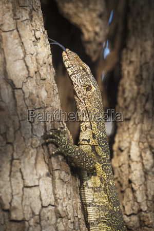 nile monitor varanus niloticus zambia africa