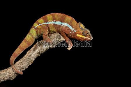 panther chameleon furcifer pardalis captive madagascar