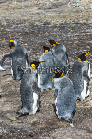 king penguin colony aptenodytes patagonicus saunders