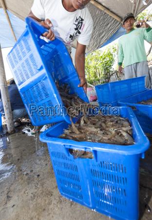 indonesia man pouring shrimp in basket