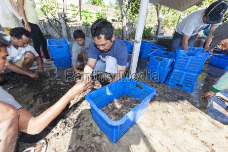 indonesia men sorting freshly caught shrimp