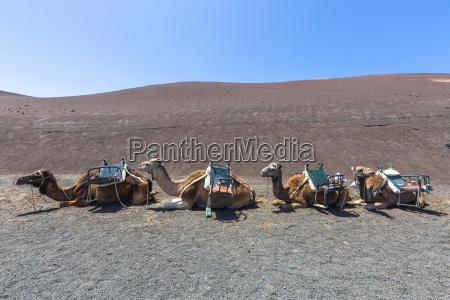 spain lanzarote dromedary caravan in timanfaya