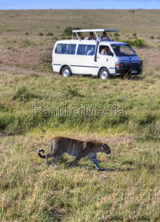 africa kenya view of leopard attracts