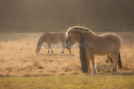 germany hesse horses on pasture in