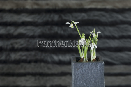 potted plant of snowdrops close up