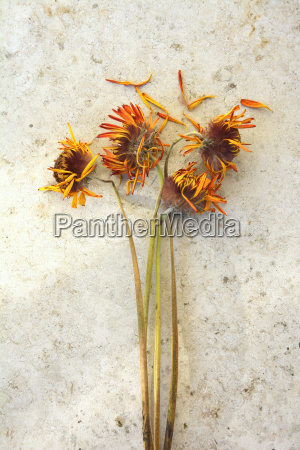 withered flowers with orange petals studio