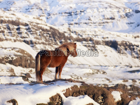 iceland view of islandic horse on