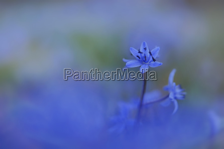 germany baden wuerttemberg scilla close up