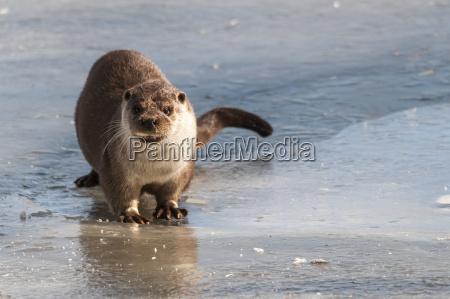 germany brandenburg european otter at frozen