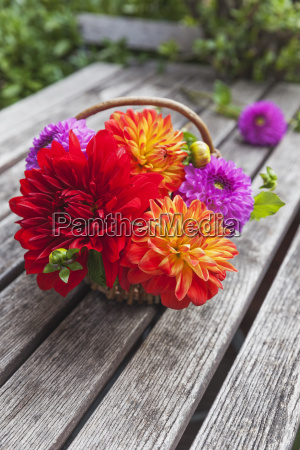 wickerbasket of colourful dahlia blossoms on